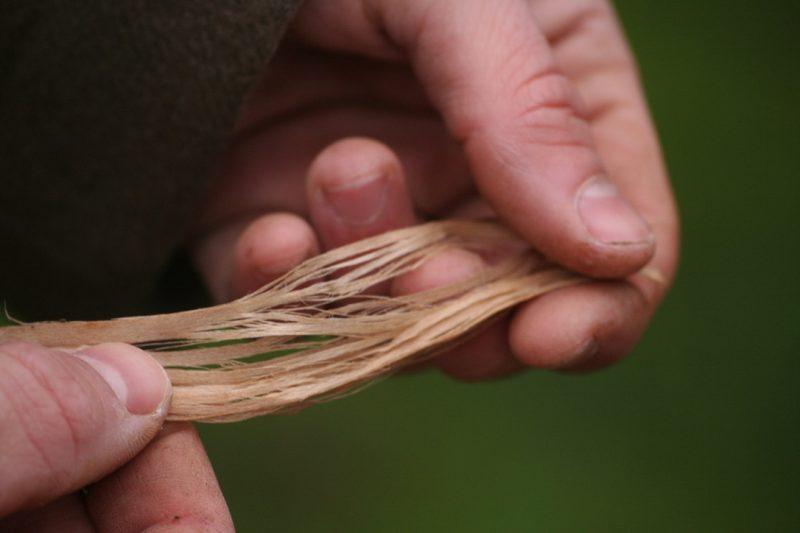 separation des fibres de tilleul