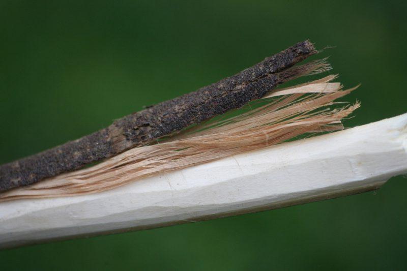 extraction des fibres de tilleul pour fabriquer de la corde