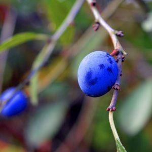 prunellier épine noire plante sauvage comestible