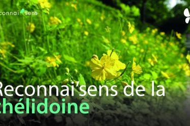 identification de la chelidoineplante sauvage medicinale