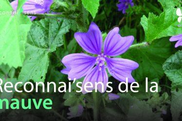 identification de la mauve plante sauvage comestible