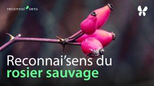 identification du rosier sauvage