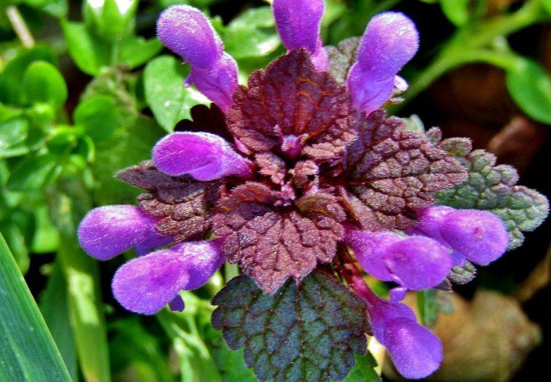 lamier pourpre en fleurs, plante sauvage comestible de printemps