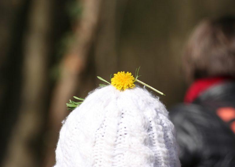 recolte de fleurs de pissenlit